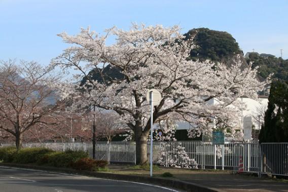 八郎川沿いの早咲き桜