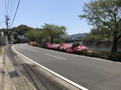 ツツジの花が綺麗に咲いて見頃です